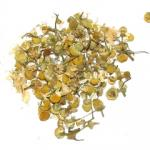 Chamomile Egyptian